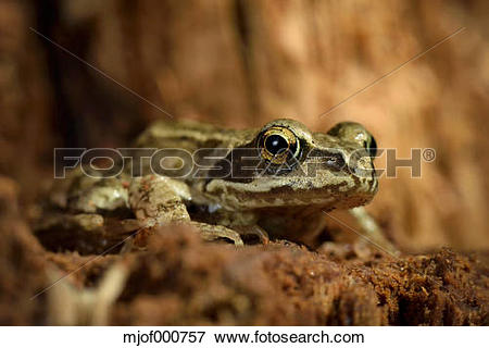 Picture of Portrait of Common frog, Rana temporaria mjof000757.