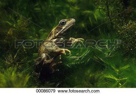 Stock Photograph of Juniors, Rana, Rana temporaria, Tyrophagus.