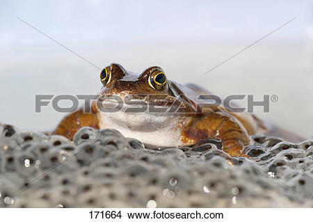 Stock Photo of Common Frog (Rana temporaria) sitting in spawn.