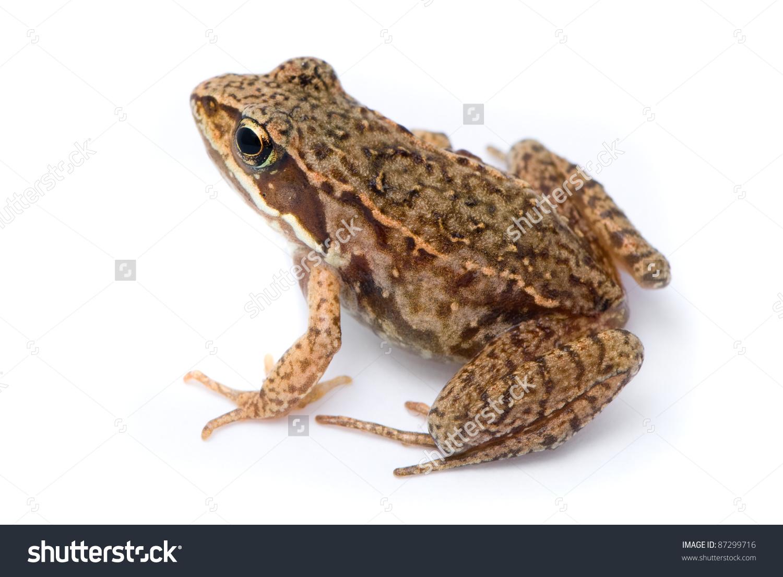 Rana Temporaria. Small Grass Frog On White Background. Stock Photo.