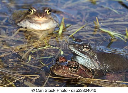 Stock Photo of Copulation of The common frog (Rana temporaria.