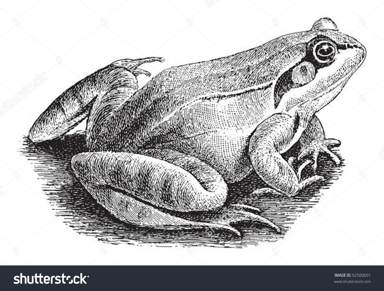 Common Frog Rana Temporaria Vintage Illustration Stock Vector.