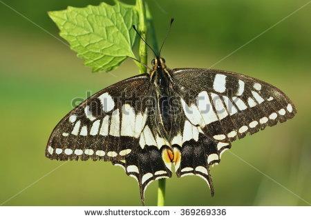 Papilio Podalirius Stock Photos, Royalty.