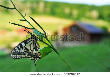 Papilio Podalirius Stock Photos, Royalty.