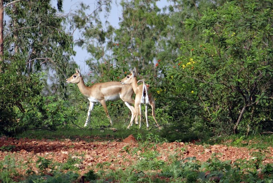 Antelope, Animals.