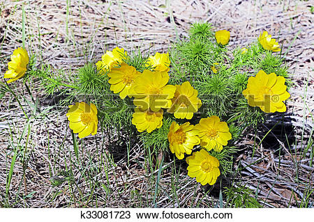 Stock Photo of Adonis a genus of plants of the family Lutikova.