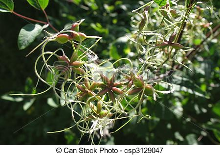Picture of Fruiting clematis, family Ranunculaceae csp3129047.