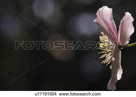 Stock Photo of Clematis, flowers, flora, Klematis, garden.
