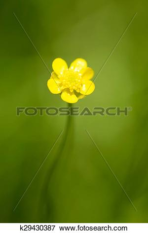 Picture of Flower of Spearwort, Ranunculaceae k29430387.