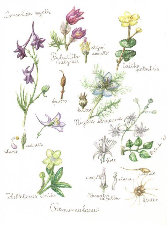 Ranunculaceae.