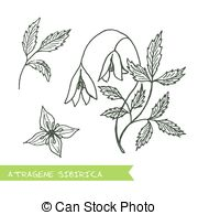 Ranunculaceae Vector Clip Art EPS Images. 31 Ranunculaceae clipart.