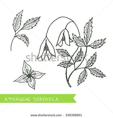 Ranunculaceae Juss Stock Vectors & Vector Clip Art.