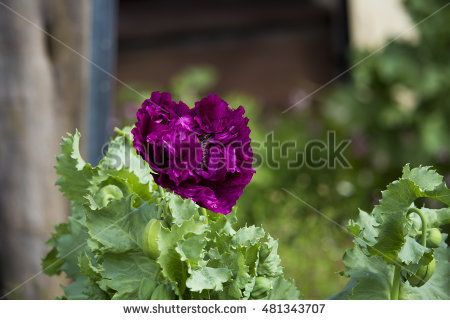 Papaver Orientale Stock Photos, Royalty.