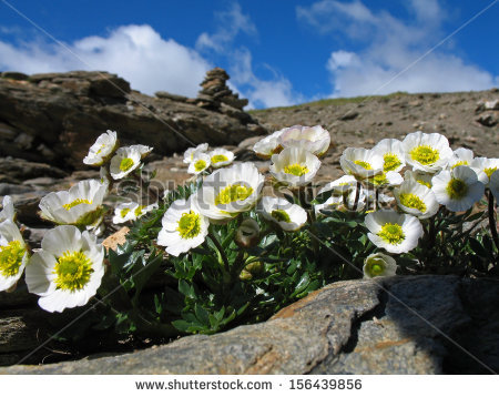 Alpestris Stock Photos, Royalty.