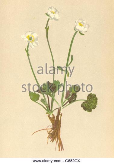 Ranunculus alpestris clipart #19