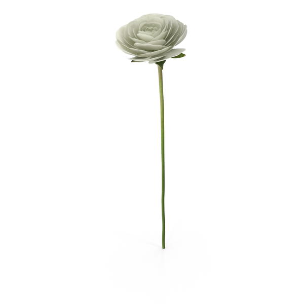 Ranunculus Asiaticus White PNG Images & PSDs for Download.