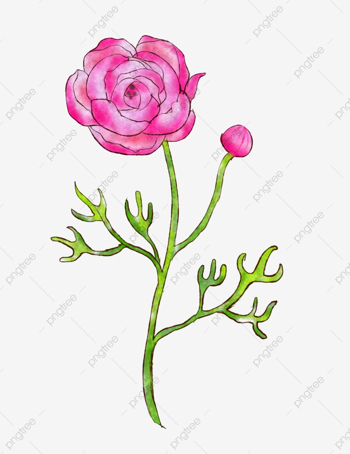 Ranunculus Illustration Flower Ranunculus Ranunculus Flower.