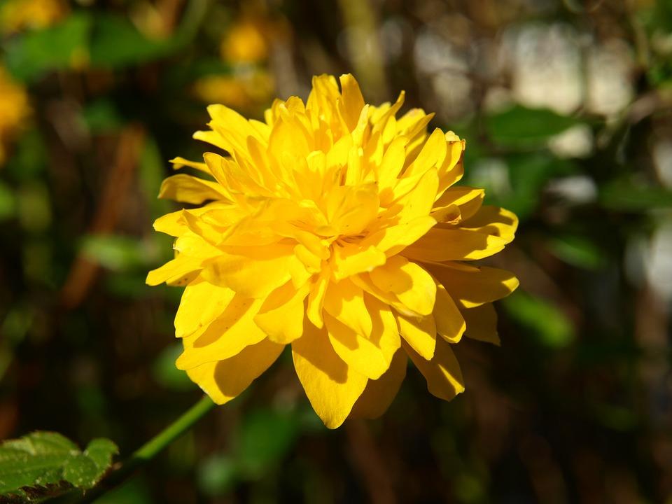 Free photo Ranunculus Bush Flower Ranunkel Shrub Yellow Bloom.