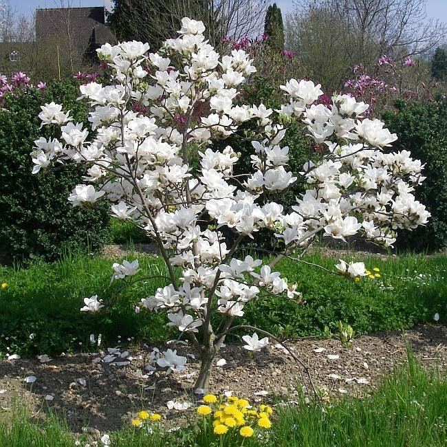 1000+ ideas about Tulpen Magnolie on Pinterest.