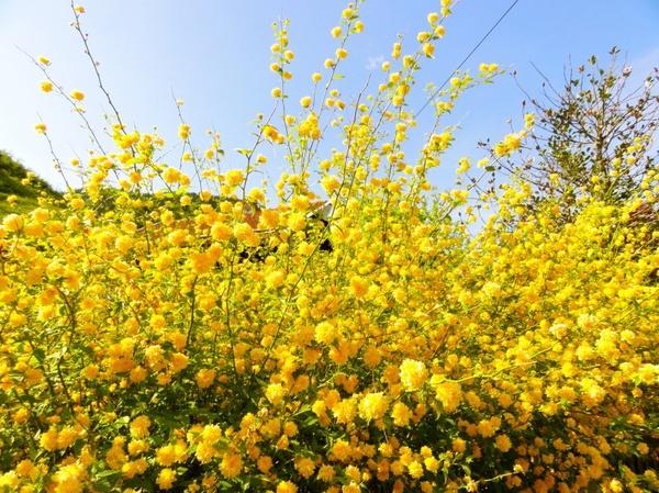 Flower yellow bush Free stock photos in JPEG (.jpg) 3307x2480.