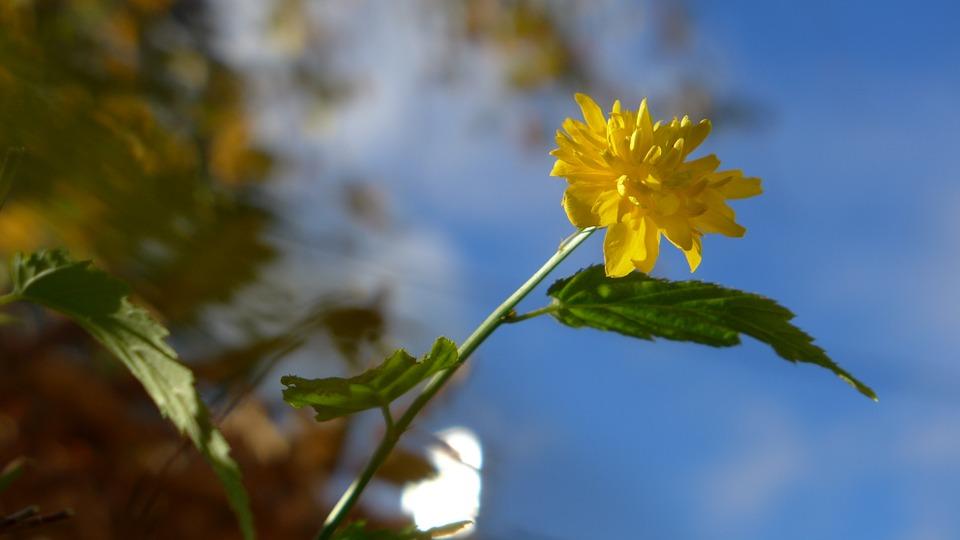 Free photo Bloom Blossom Sky Yellow Blue Ranunkel Shrub.