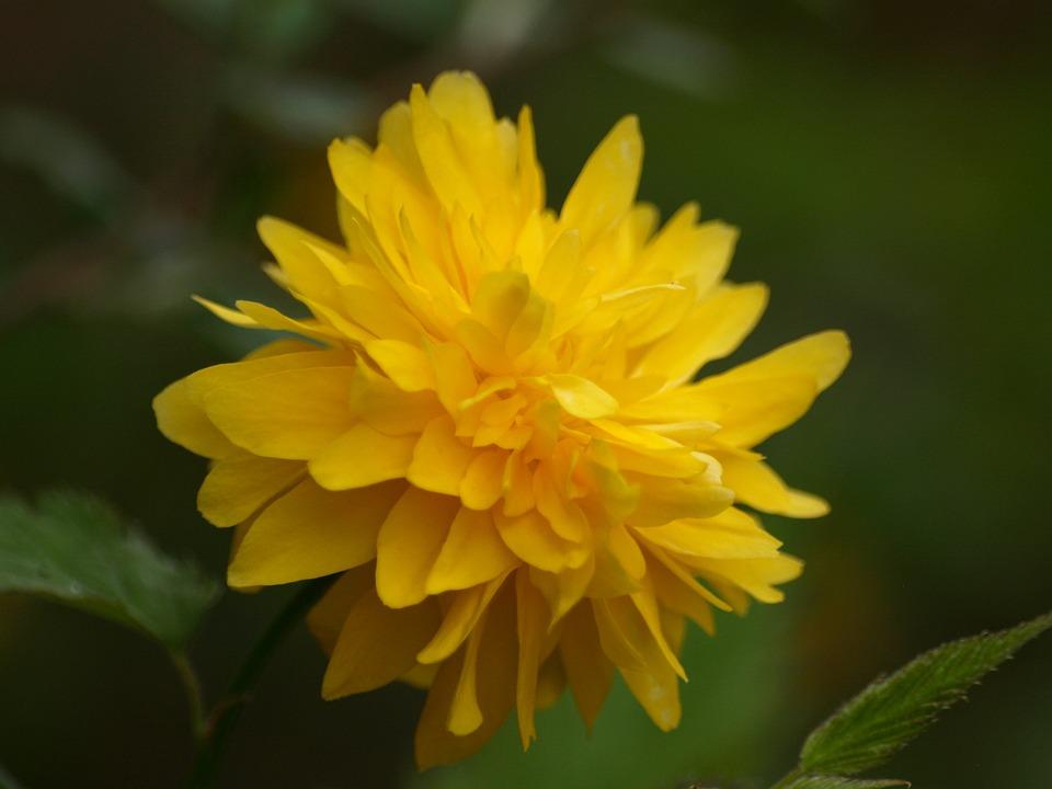 Free photo: Ranunkel Shrub, Ranunculus Flower.