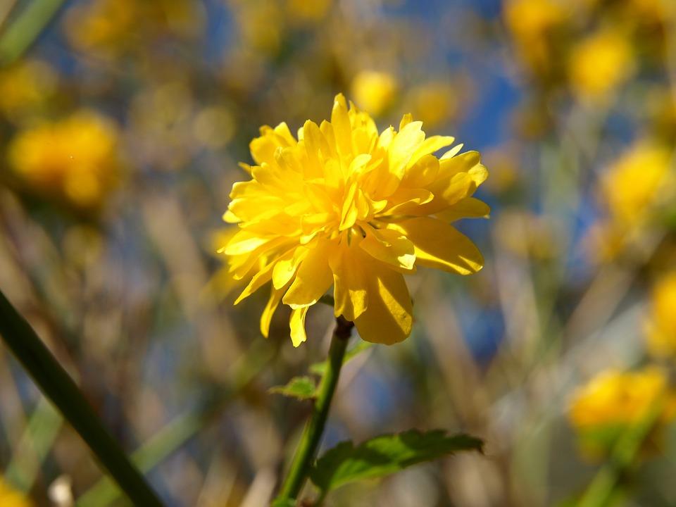 Free photo: Ranunculus Bush Flower, Yellow.