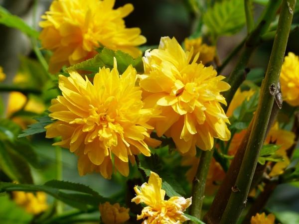 Flower yellow bush Free stock photos in JPEG (.jpg) 4000x3000.