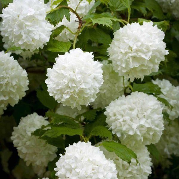 1000+ ideas about Schneeball Blume on Pinterest.