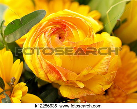 Stock Image of Persian Buttercup / Ranunkel k12286635.