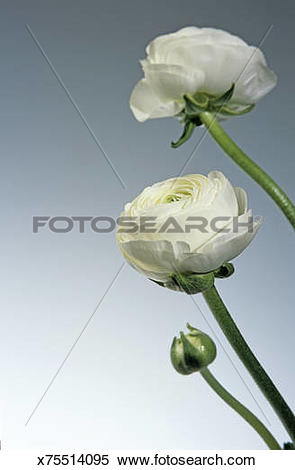 Stock Image of Buttercup, Ranunkel x75514095.