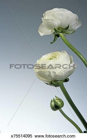 Stock Image of Buttercup, Ranunkel x75514095.