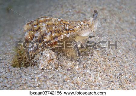 "Stock Images of ""Veined Rapa Whelk (Rapana venosa), Black Sea."