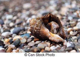 Stock Image of Cockleshell of the Black Sea Rapana venosa.