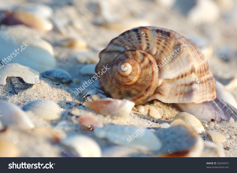 Empty Seashell Of Marine Mollusc Rapana Venosa On The Black Sea.