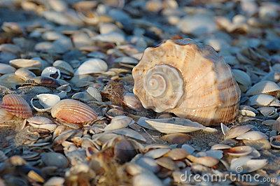Seashell Of Marine Mollusc Rapana Venosa Stock Photography.