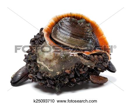 Stock Photography of Rapana venosa covered with mussels k25093710.