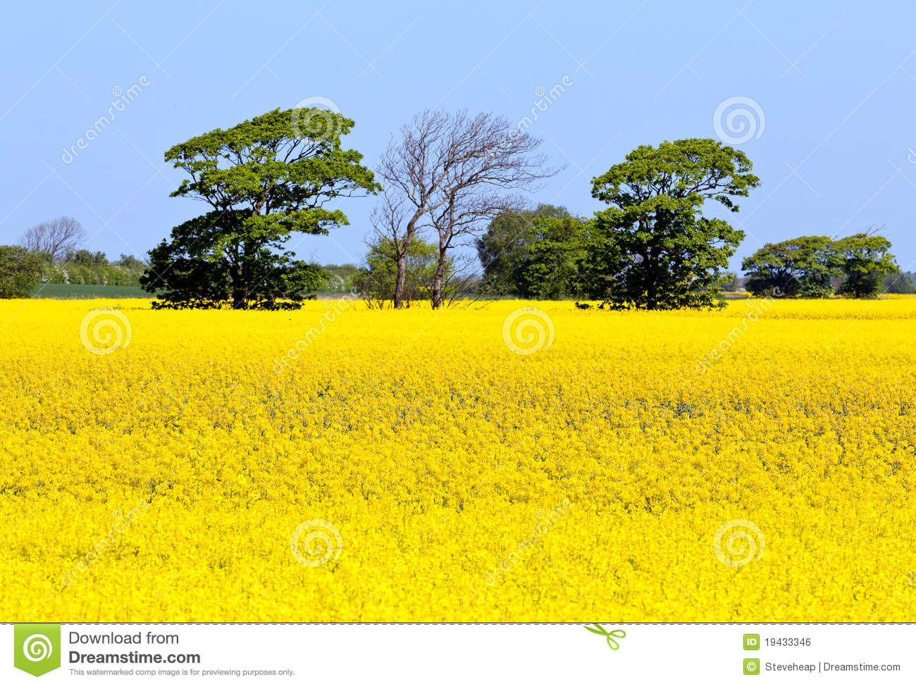 Oilseed Rape Blossoms Royalty Free Stock Photo.