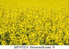 Rape blossom Images and Stock Photos. 4,056 rape blossom.