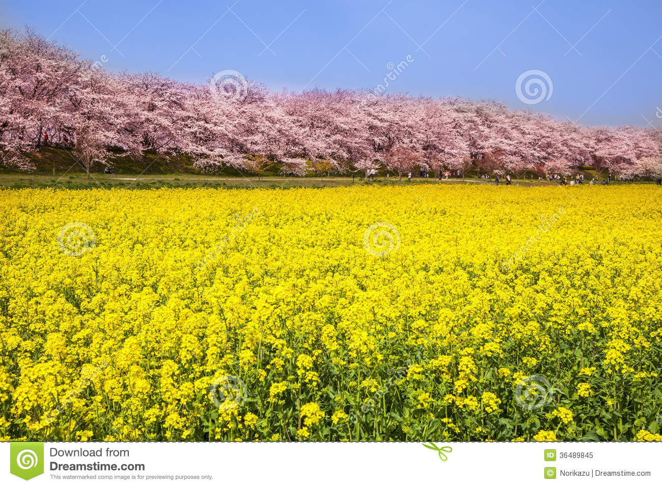 Rape Blossoms And Cherry Tree Royalty Free Stock Photo.