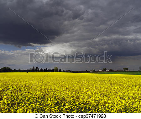 Stock Photo of Rape Blossom Field.