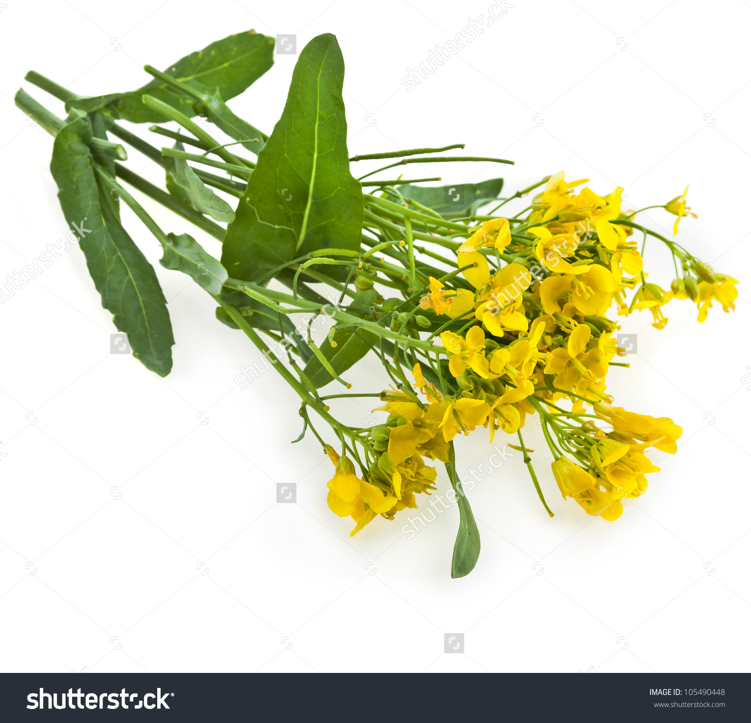 Flower Rapeseed Rape Blossoms Brassica Napus Stock Photo 105490448.