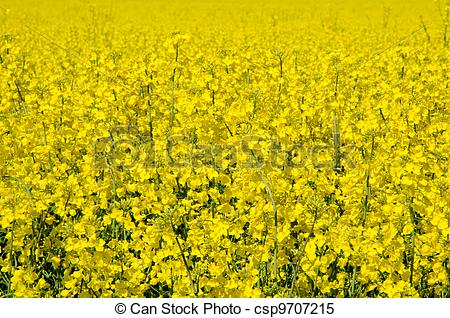 Stock Images of Rape blossom csp9707215.