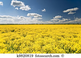 Rape blossom Clipart and Stock Illustrations. 12 rape blossom.