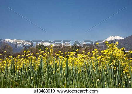 Stock Photograph of Rape Blossom Field and Snowcapped Mountains in.