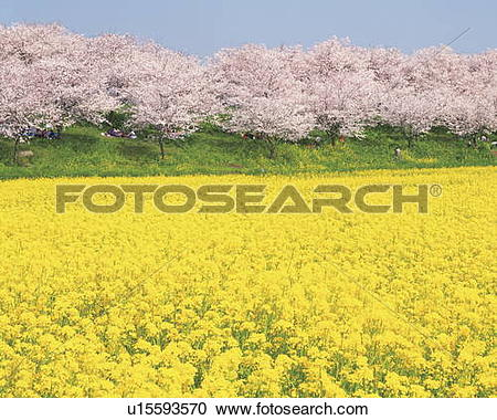 Stock Photography of Rape blossom field lined with blossoming.