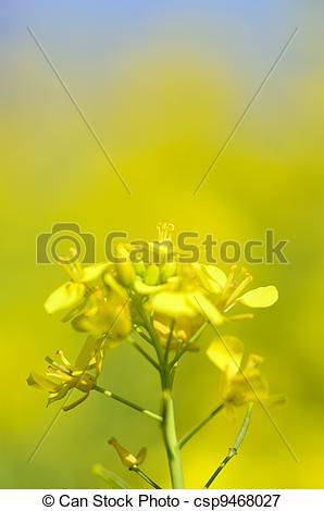 Picture of Rape blossoms (close.