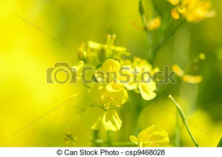 Pictures of Rape blossoms (close.