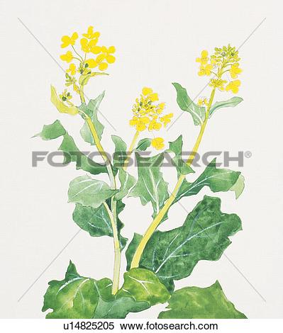 Stock Illustration of Close up of rape blossoms u14825205.