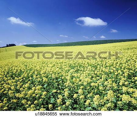 Stock Image of Field of rape blossoms, Biei town, Hokkaido.